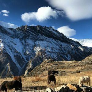 himalayangorilla_Annapurna_circuit_trek (1)